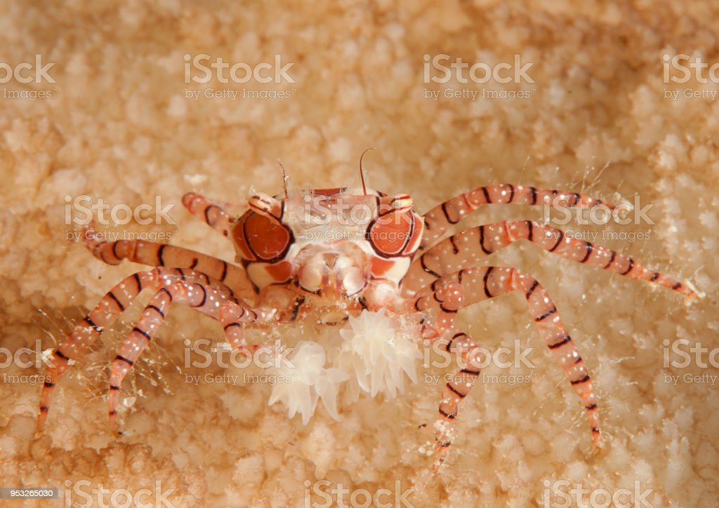 Mosaic boxer crab  resting on coral reef of Bali stock photo
