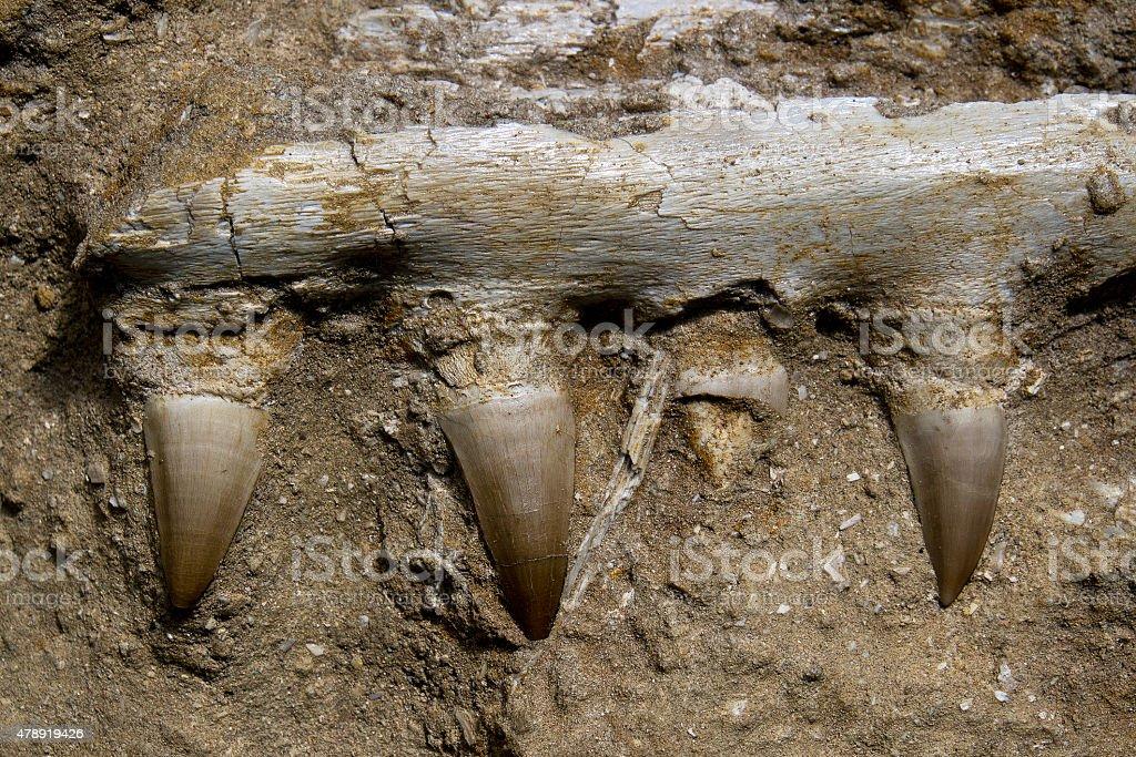 Mosasaur Jaw Bone stock photo