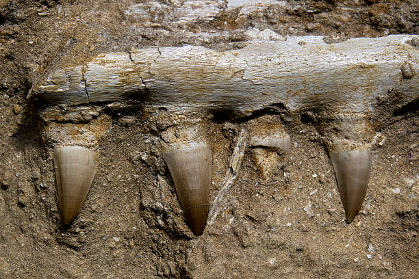 mosasaur jaw bone - fossil stock photos and pictures