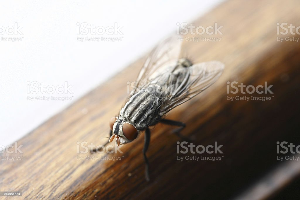 Mosca close-up royalty-free stock photo