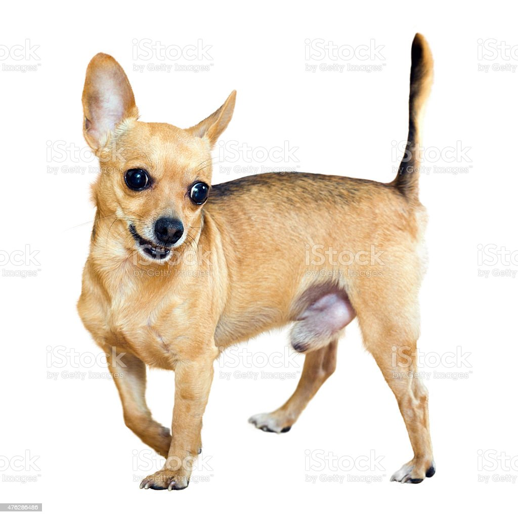 Moscow Toy Terrier stock photo
