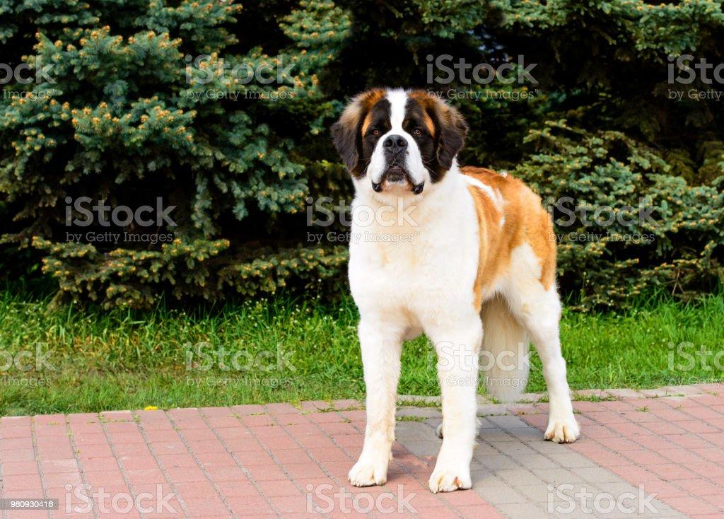 Moskauer Wachhund mit Stolz. – Foto