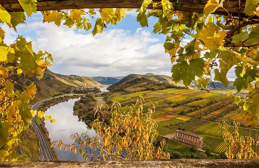 Moselle Autumn golden vineyards Landscape  view  from  Calmont Klettersteig  Bremm Germany