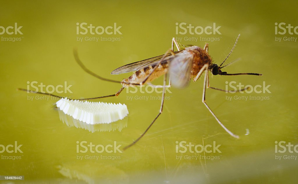 Mosquito and Eggs royalty-free stock photo