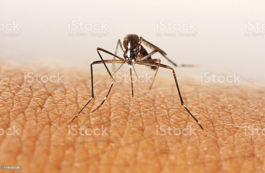 Mosquito attacks stock photo