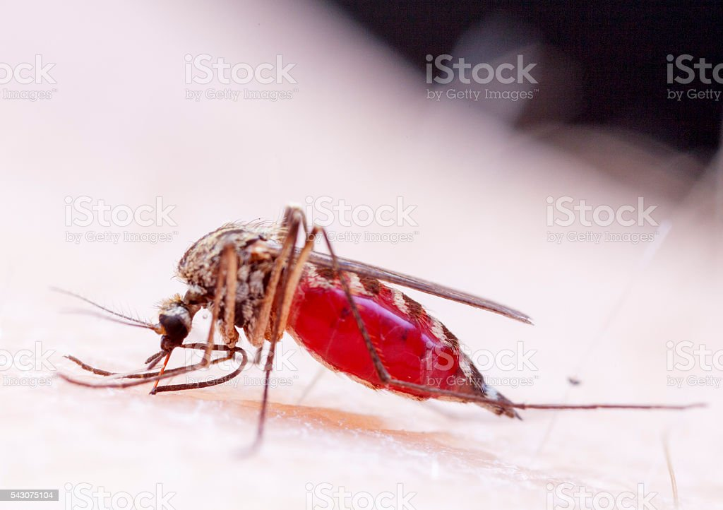 Mosquito bocadillo - foto de stock