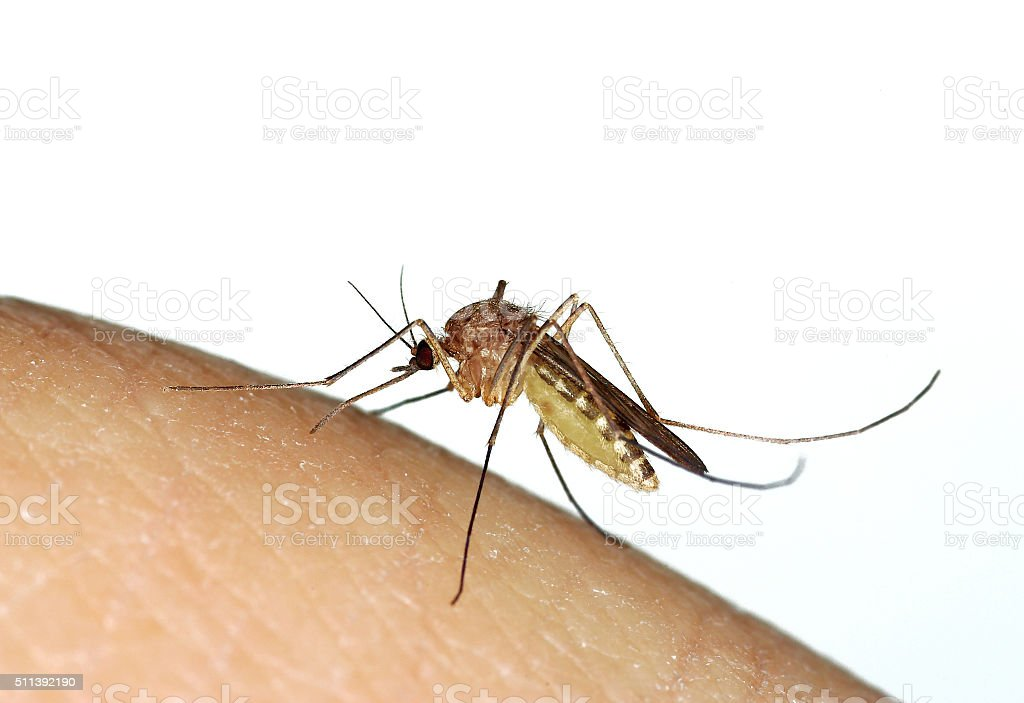 Mosquito (Culex sp.) biting a human finger stock photo
