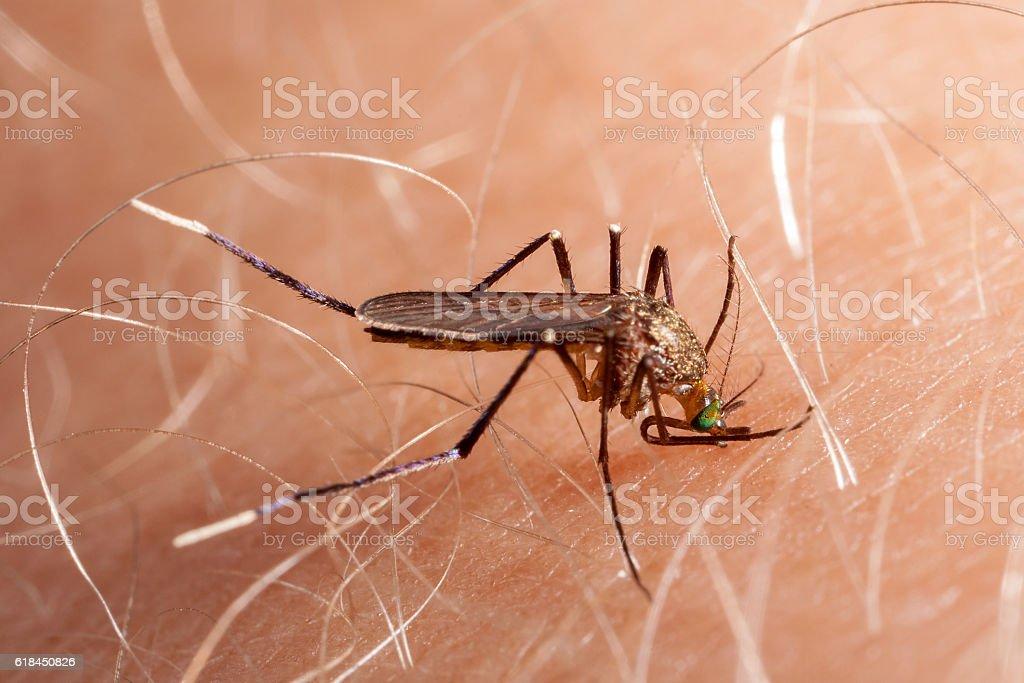 Mosquito biting human skin - drinking blood stock photo