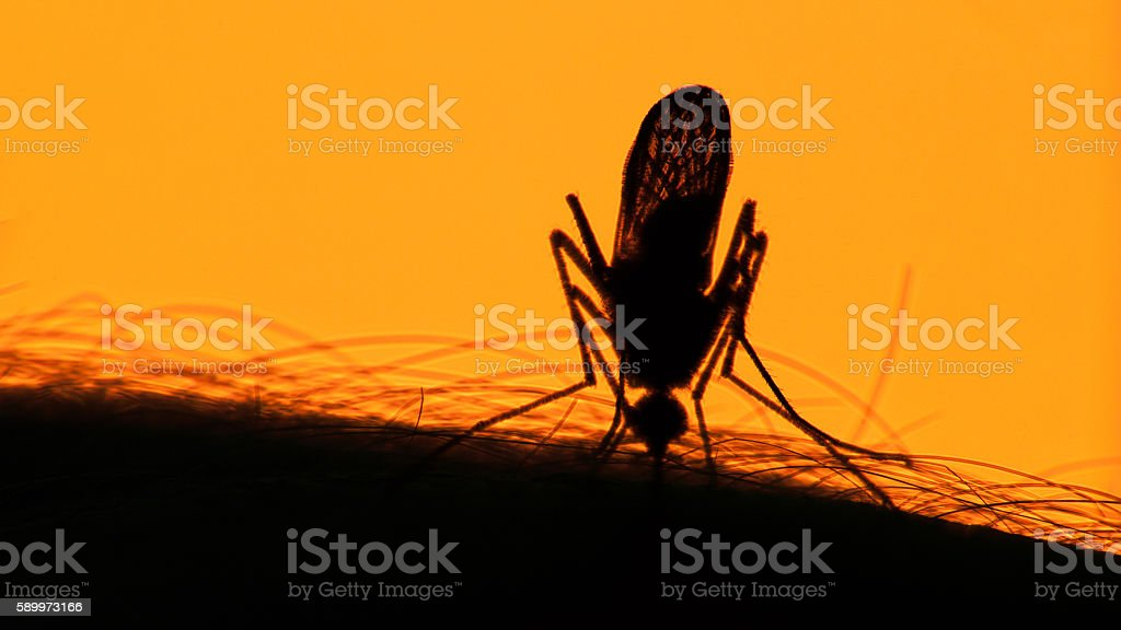 Mosquito blood sucking on human skin on sun background stock photo