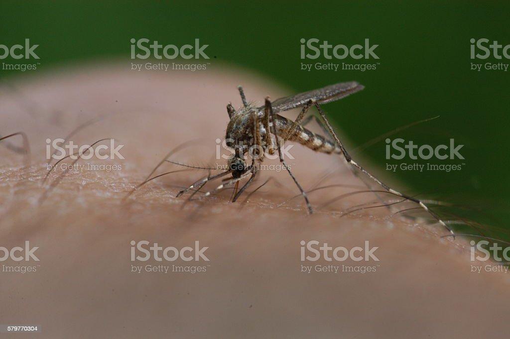 Mosquito bloodsucking stock photo