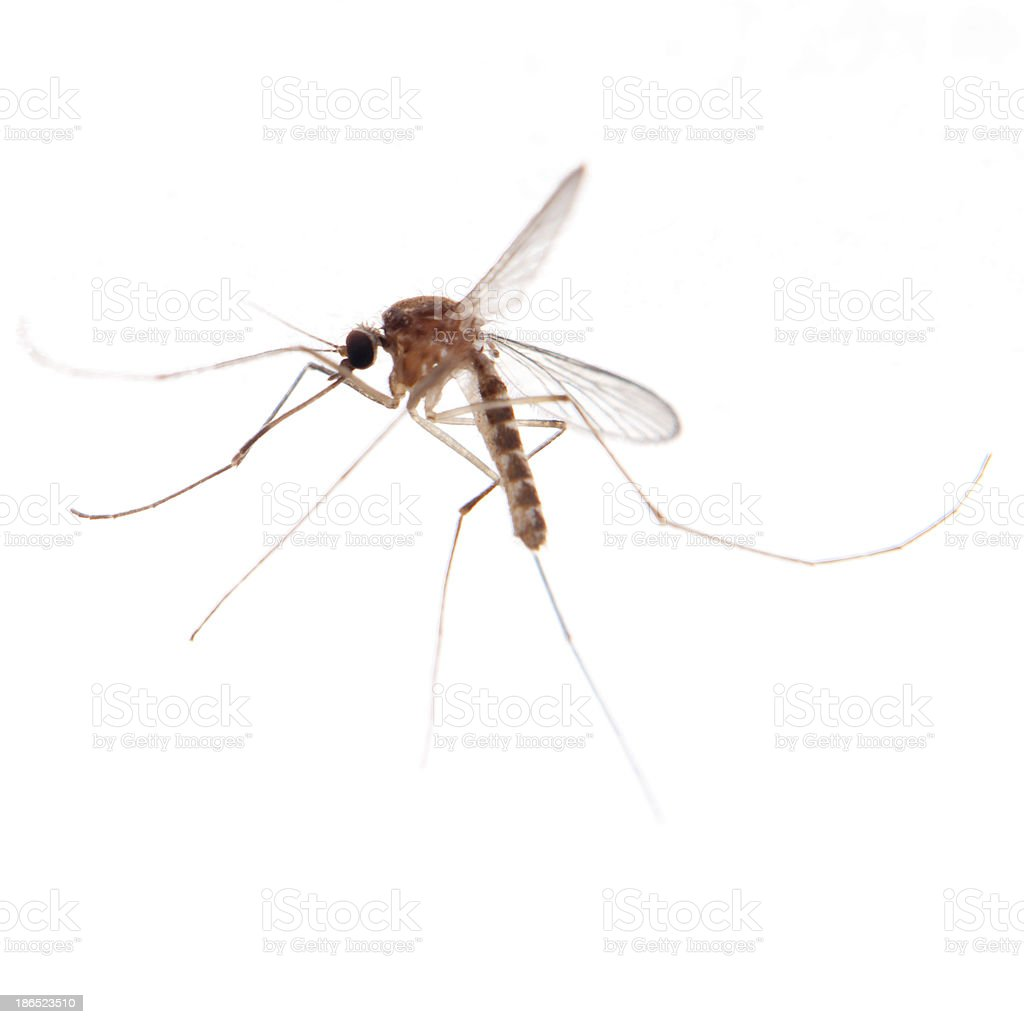 mosquito bug royalty-free stock photo