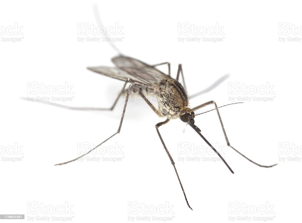 Mosquito close-up on white background stock photo