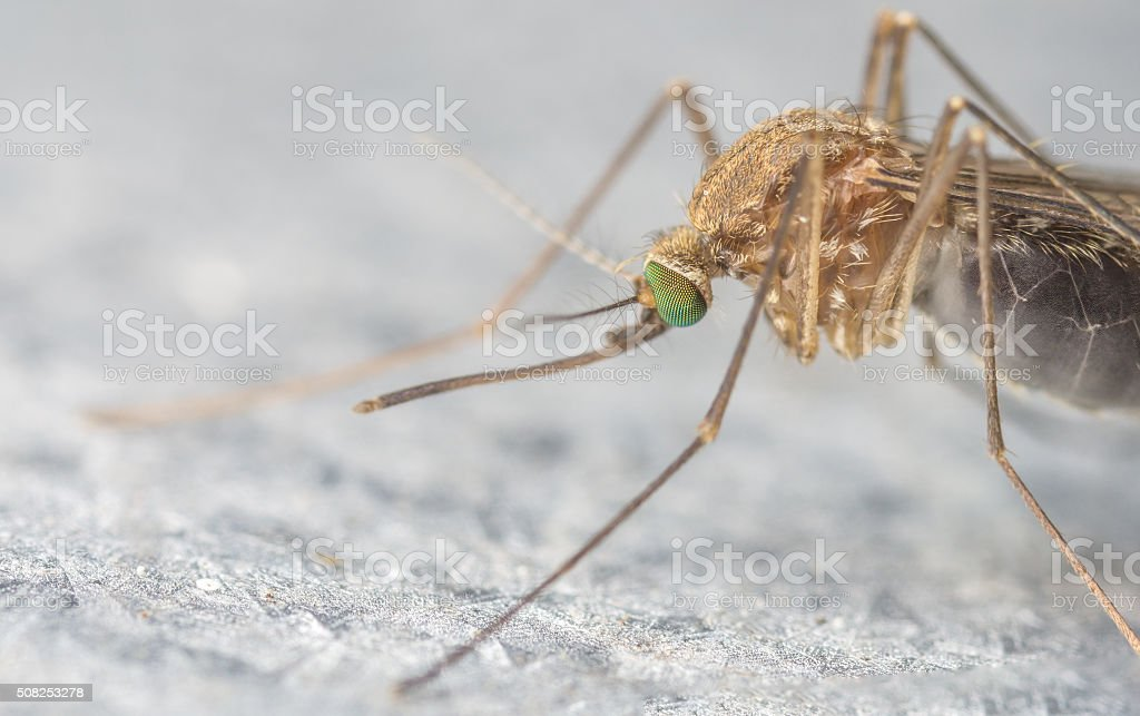 Mosquito close-up or macro stock photo