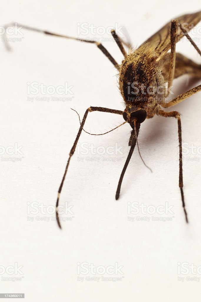 Mosquito Close-up royalty-free stock photo
