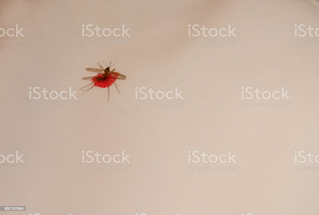 Mosquito, dead, blood stock photo
