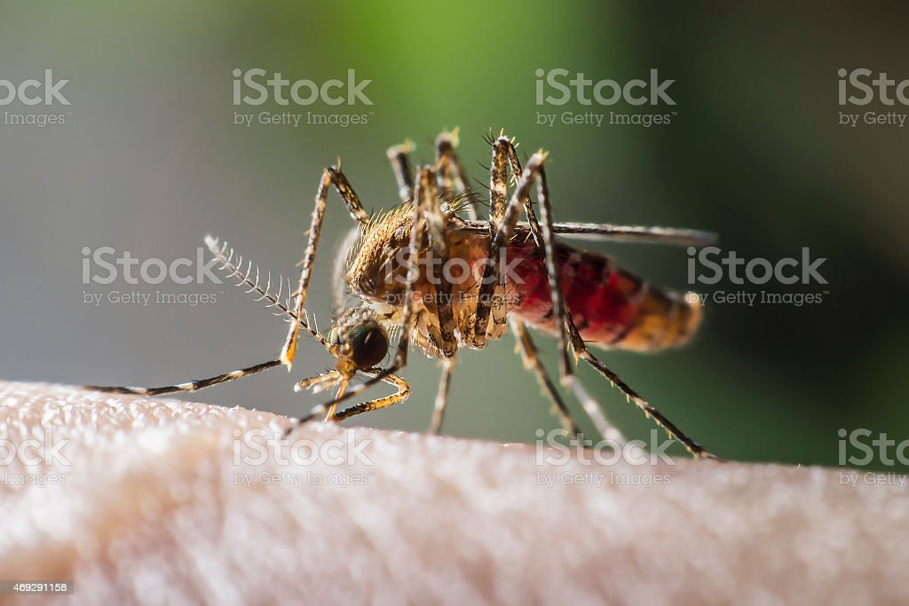 mosquito drinks blood out of man stock photo