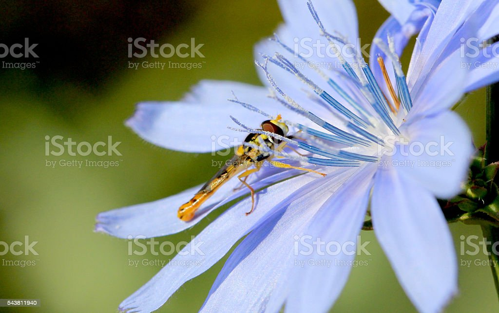 Mosquito early on the morning on a blue wild flower stock photo
