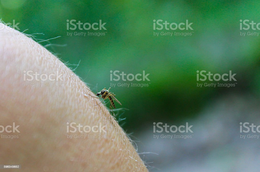 Mosquito (Culex pipiens) feeds on the blood of the human body royalty-free stock photo