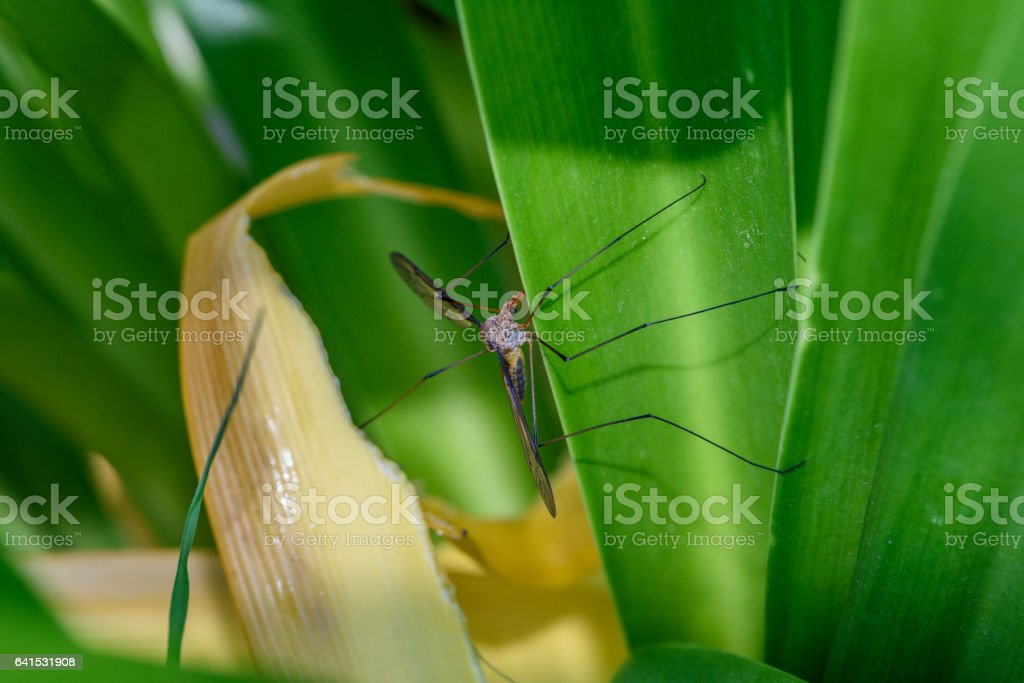 mosquito fell on the leaves stock photo