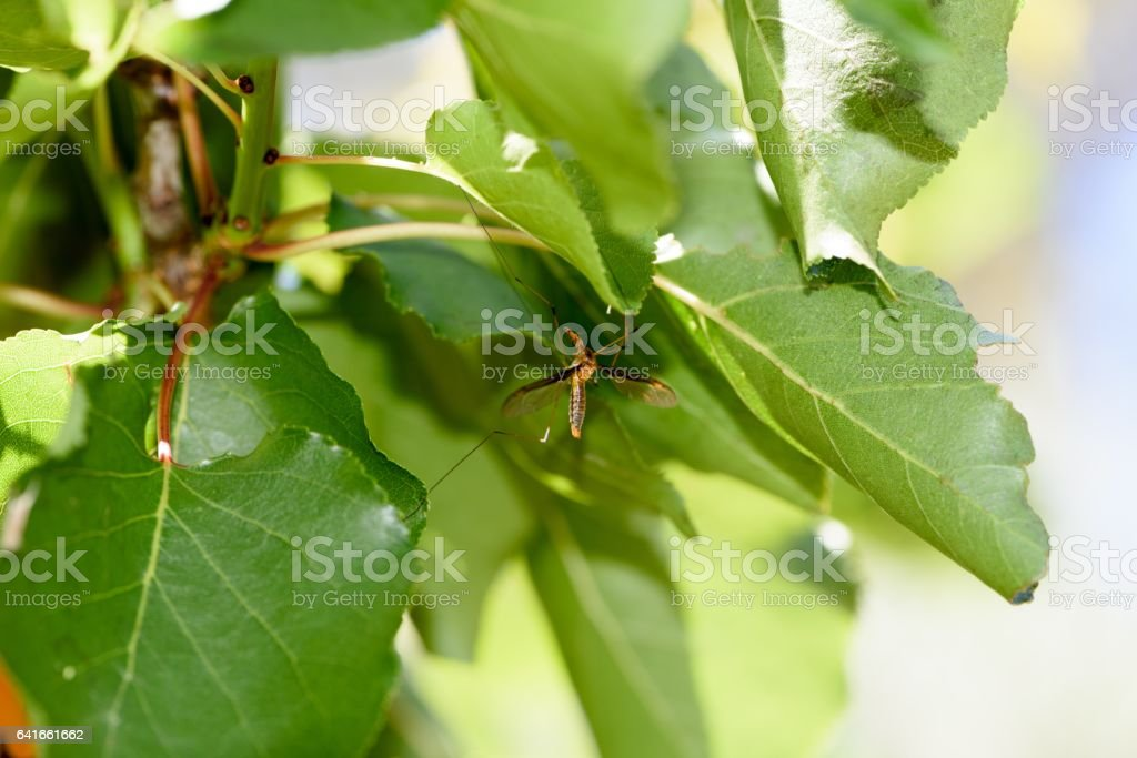A mosquito fell on the leaves stock photo