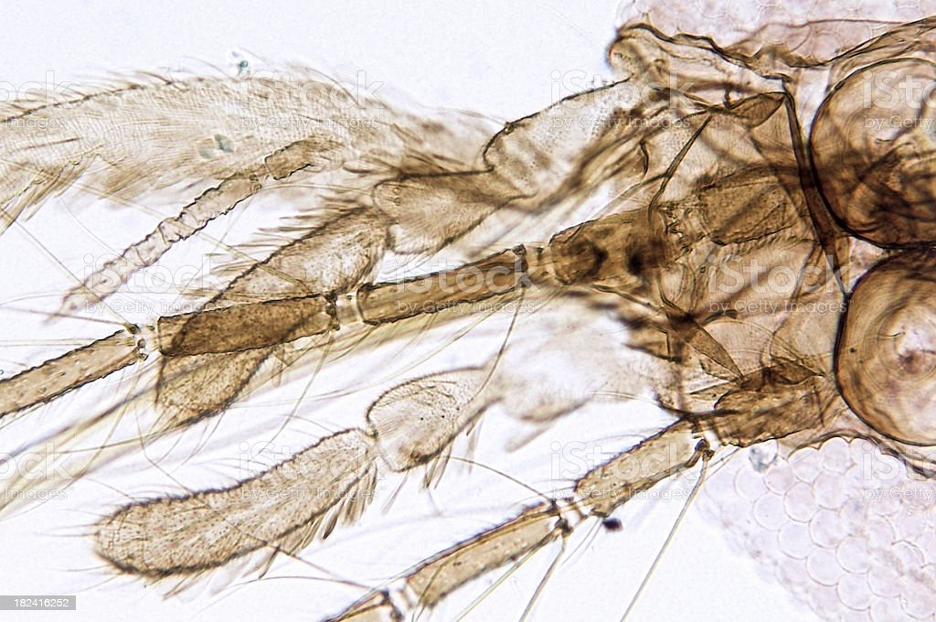 Mosquito Female Head Mouth Parts royalty-free stock photo