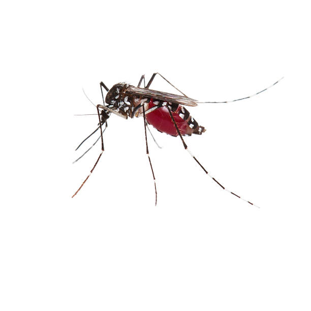 mosquito full of blood - mosquito stock photos and pictures