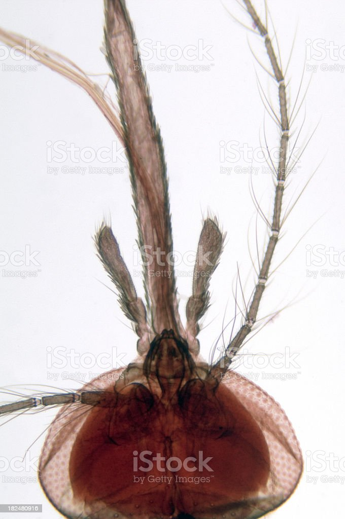 Mosquito Head Female WM royalty-free stock photo