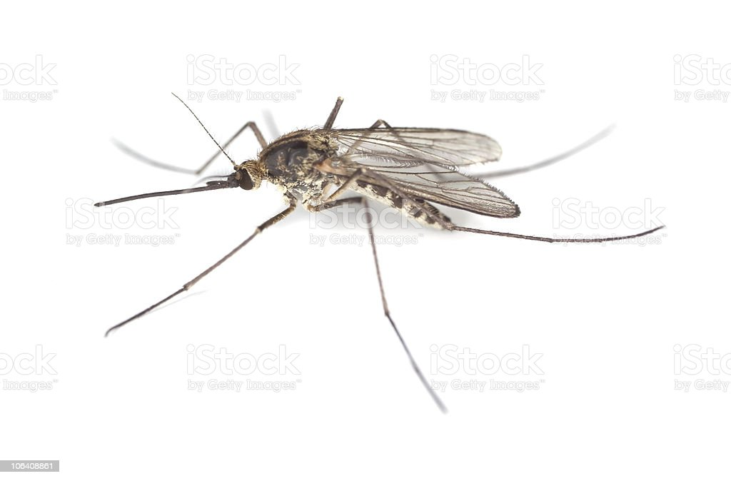 Mosquito isolated on white background. royalty-free stock photo