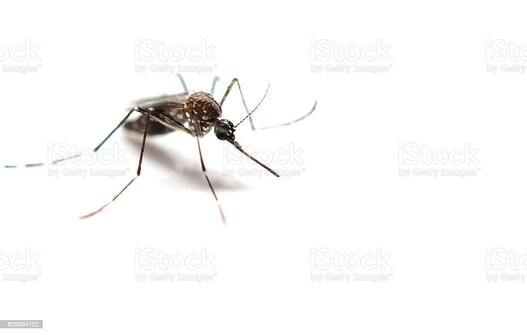 Mosquito isolated on white background stock photo