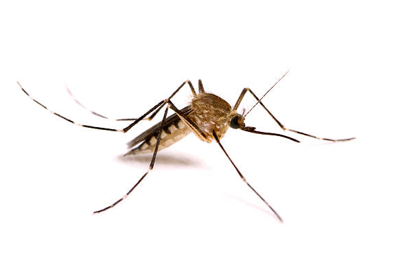 mosquito isolated on white - mosquito stock photos and pictures