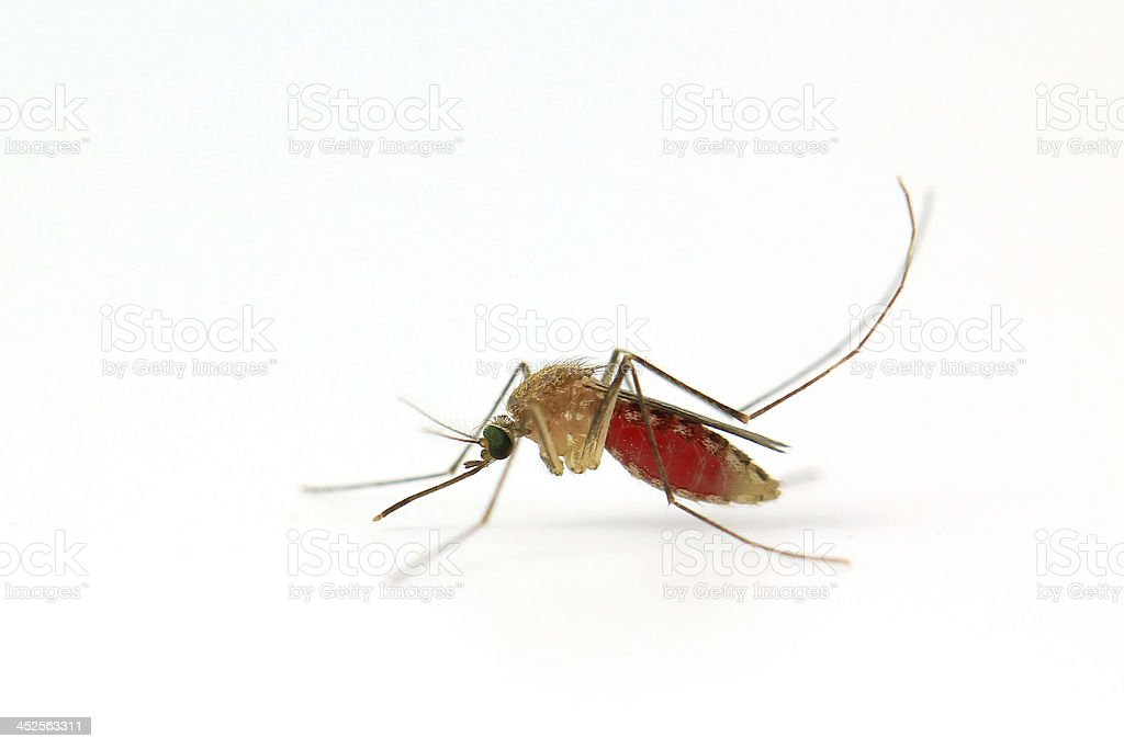 Mosquito isolated on white stock photo