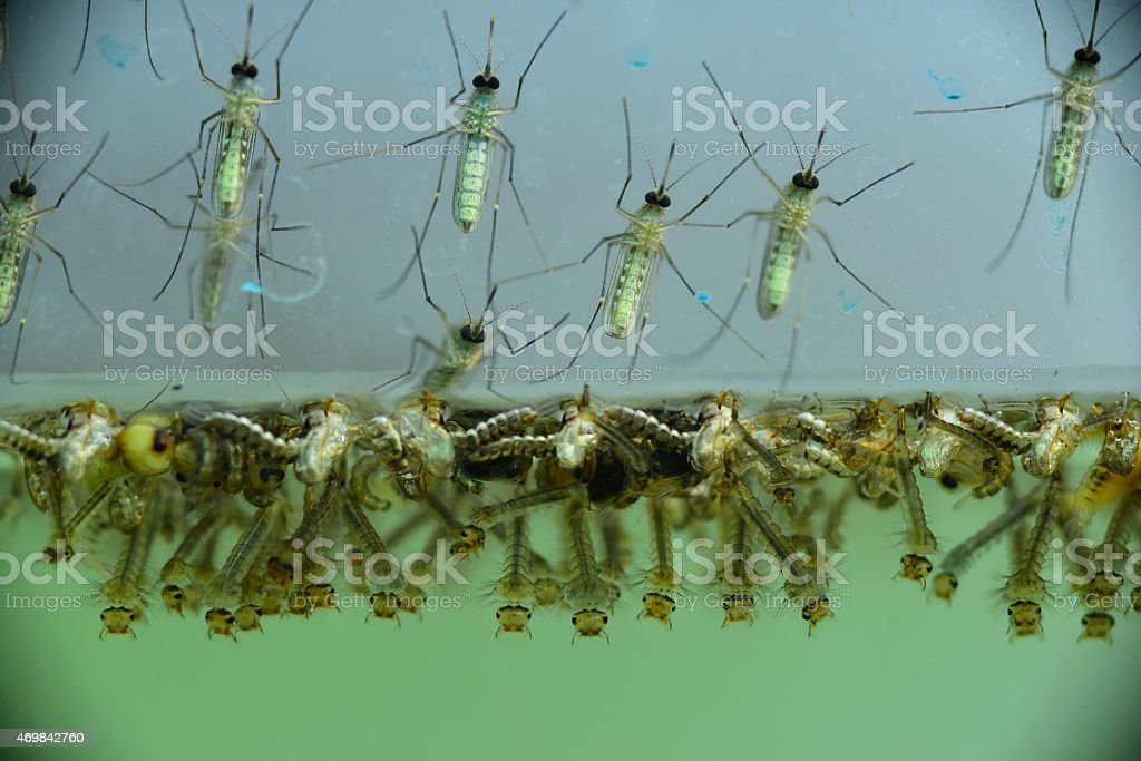 Mosquito larvae stock photo