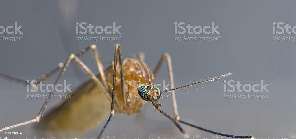 Mosquito Macro Panorama stock photo