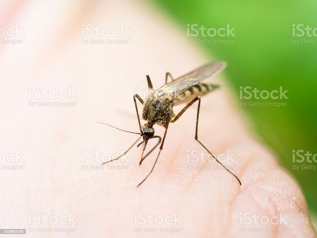 Mosquito on a human hand sucking blood stock photo