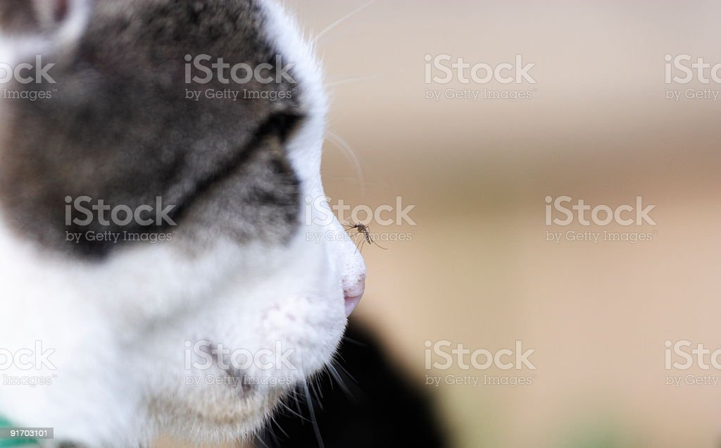 Mosquito on Cats nose royalty-free stock photo