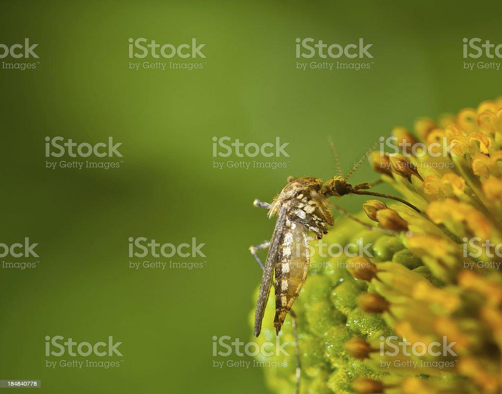 Moustique sur Fleur - Photo