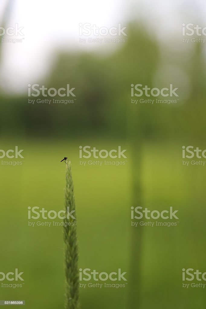Mosquito on green tip of the grass in nature. stock photo