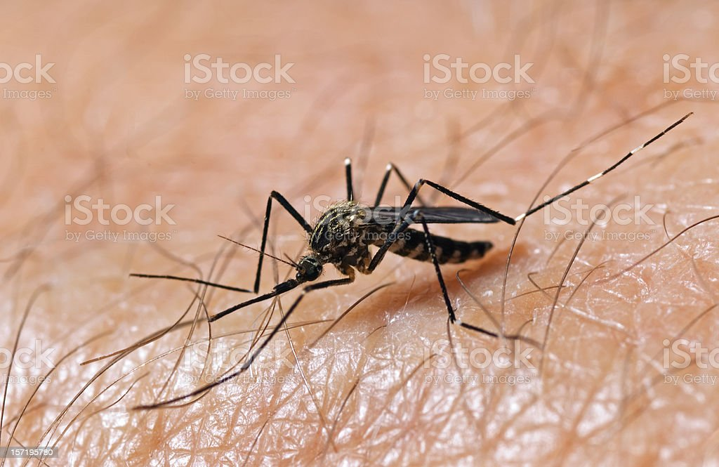 Mosquito on Skin royalty-free stock photo