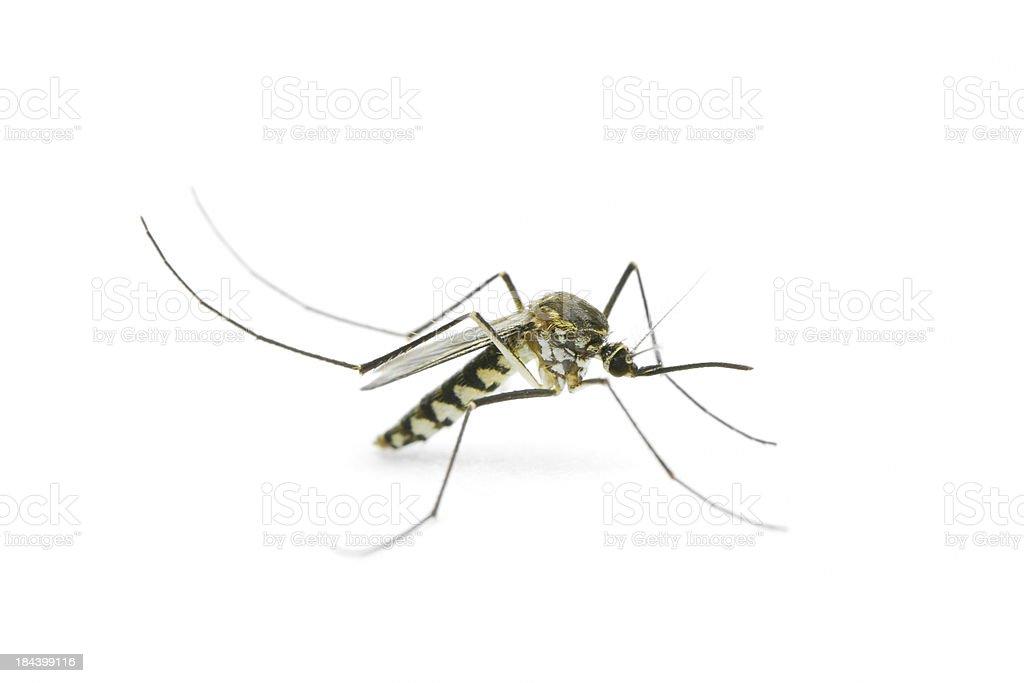 Mosquito on white background stock photo