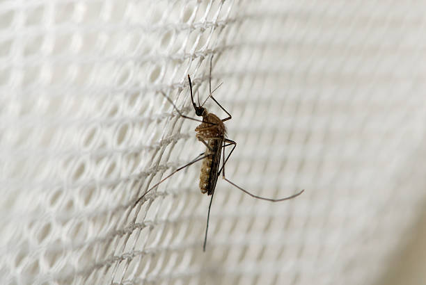 Mosquito Mosquito in Kruger NP transvaal province stock pictures, royalty-free photos & images