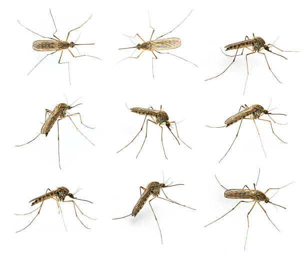 mosquito - mosquito stock photos and pictures