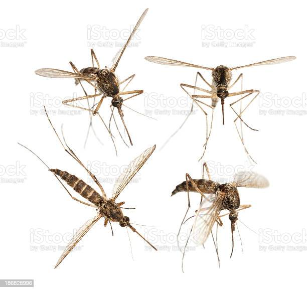 Mosquito picture id186828996?b=1&k=6&m=186828996&s=612x612&h=an8srgbqnewggqu6ligonxftyxn2kvl4ktybpxld 5q=