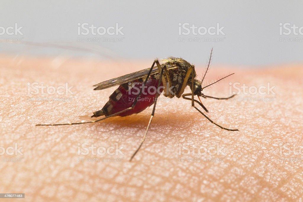 Mosquito. stock photo