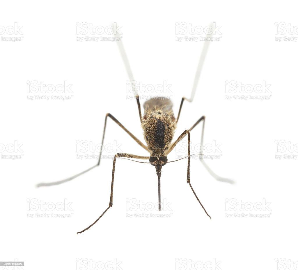 Mosquito portrait royalty-free stock photo
