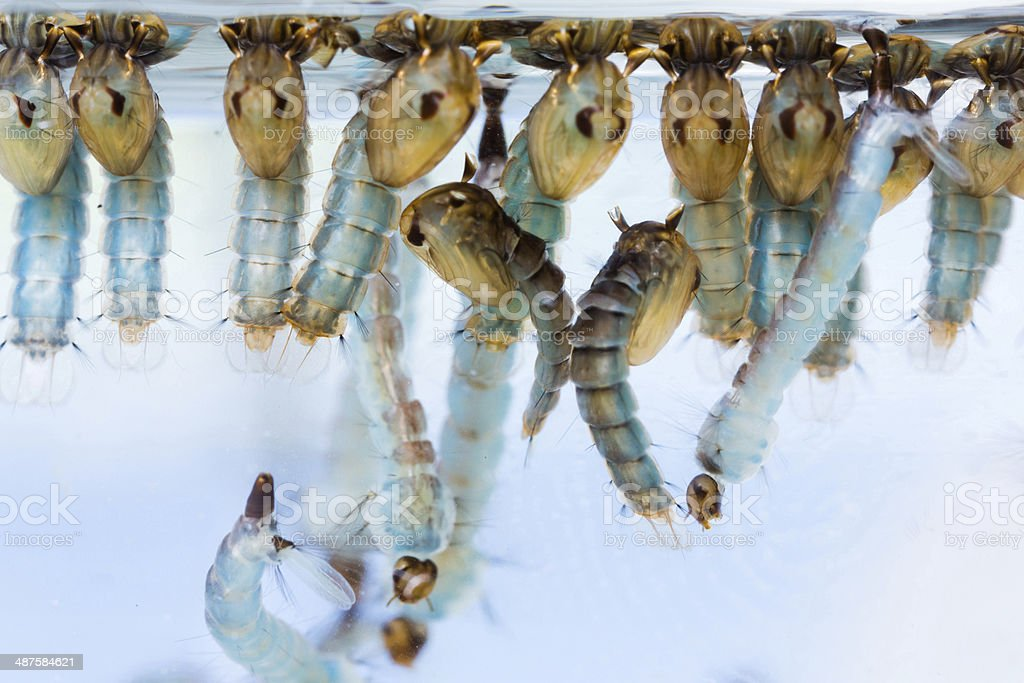 Mosquito pupae and larvae stock photo