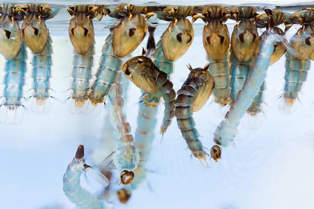 Mosquito pupae and larvae stock photo