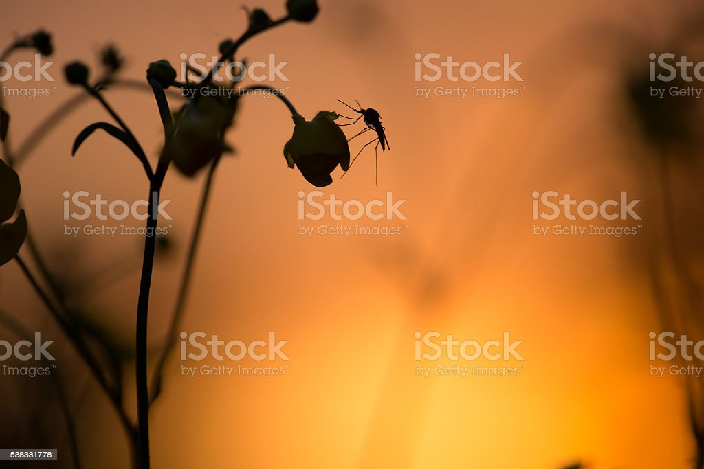Mosquito resting on buttercup flower in sunset - Lizenzfrei Abenddämmerung Stock-Foto