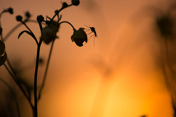 Mosquito resting on buttercup flower in sunset stock photo