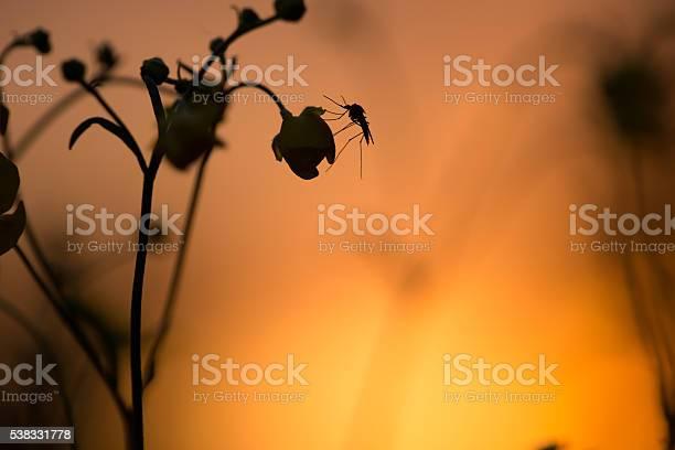Moskito Ruht Auf Butterbecher Blume Im Sonnenuntergang Stockfoto und mehr Bilder von Abenddämmerung