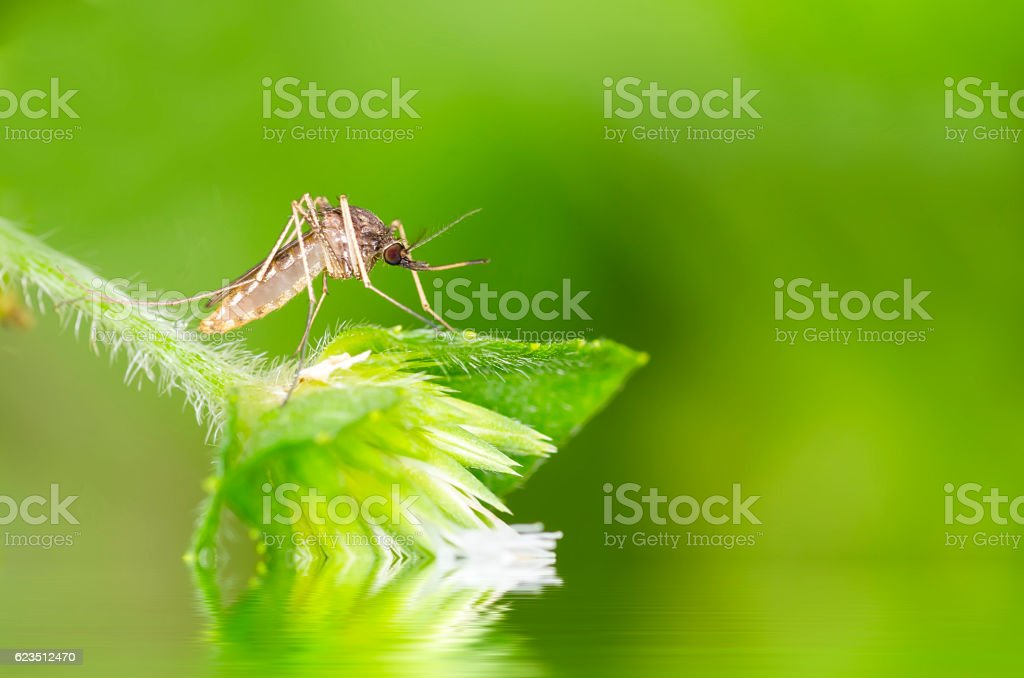 Mosquito resting on green leaf stock photo